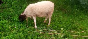Dorper Sheep on Sale | Livestock & Poultry for sale in Kiambu, Githunguri