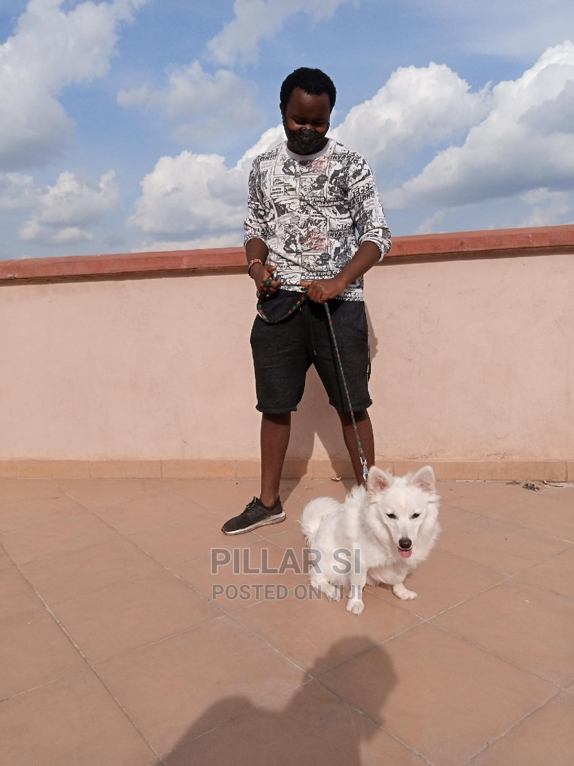 Archive: 1+ Year Male Purebred Japanese Spitz