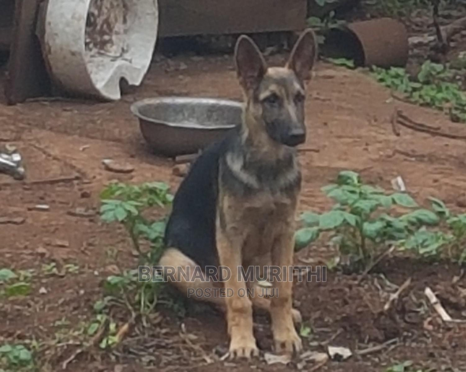 Archive: 6-12 Month Male Purebred German Shepherd