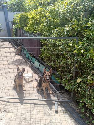 6-12 Month Female Purebred German Shepherd | Dogs & Puppies for sale in Kajiado, Kitengela