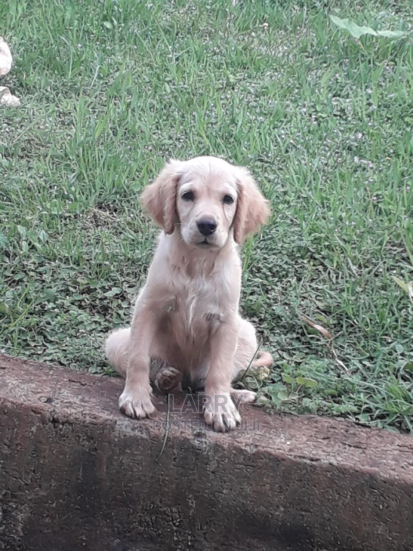 Baby Female Purebred Golden Retriever   Dogs & Puppies for sale in Karen, Nairobi, Kenya