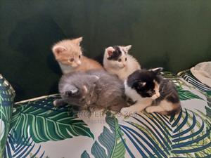 1-3 Month Female Mixed Breed Cat   Cats & Kittens for sale in Kiambu, Rosslyn