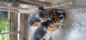 6-12 Month Male Purebred German Shepherd | Dogs & Puppies for sale in Nairobi, Kahawa