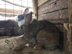 Rabbit For Sale   Livestock & Poultry for sale in Kiambu, Lari