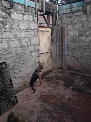 6-12 month Female Purebred German Shepherd | Dogs & Puppies for sale in Nairobi, Karen