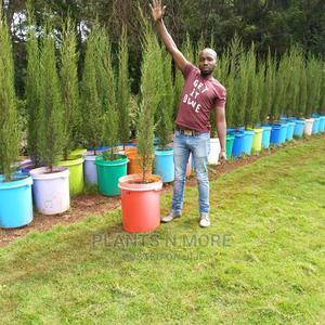 Italian Cypress | Feeds, Supplements & Seeds for sale in Nairobi, Karen