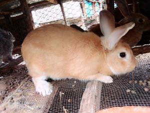 Hybrid Rabbits Available for Sale   Livestock & Poultry for sale in Nairobi, Kasarani