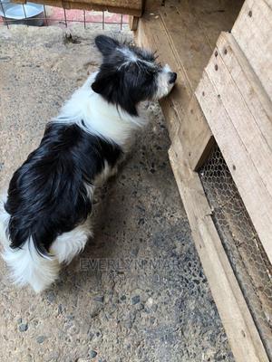 6-12 Month Male Purebred Maltese | Dogs & Puppies for sale in Kiambu, Ruiru