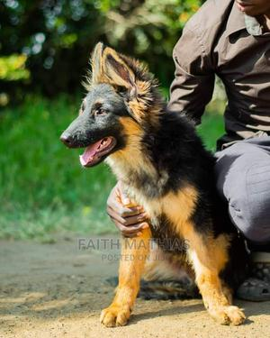 3-6 Month Male Purebred German Shepherd | Dogs & Puppies for sale in Nairobi, Karen