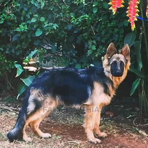 6-12 Month Male Purebred German Shepherd | Dogs & Puppies for sale in Nairobi, Karen