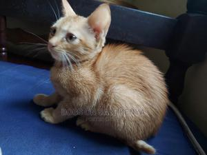 1-3 Month Male Purebred American Shorthair | Cats & Kittens for sale in Kiambu, Kiambu / Kiambu