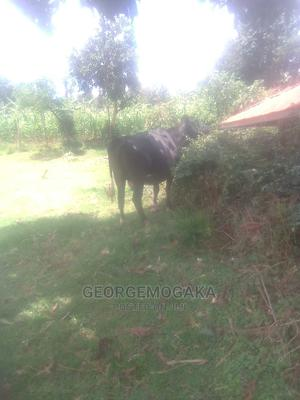 Healthy Cows   Livestock & Poultry for sale in Kisii, Nyaribari Chache