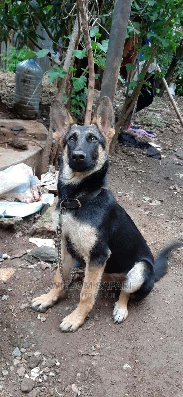 3-6 Month Female Purebred German Shepherd   Dogs & Puppies for sale in Juja, Kiambu, Kenya
