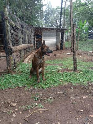 1+ Year Female Purebred Belgian Malinois   Dogs & Puppies for sale in Migori, East Kamagambo