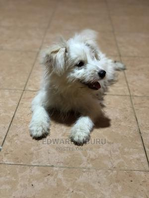 6-12 Month Female Mixed Breed Japanese Spitz | Dogs & Puppies for sale in Mombasa, Nyali