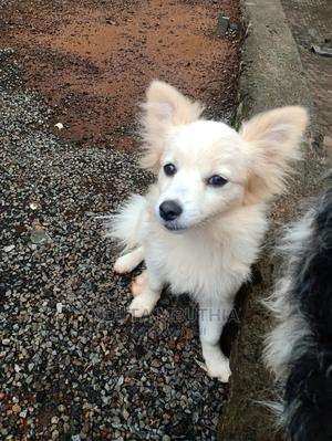 3-6 month Female Mixed Breed Japanese Spitz | Dogs & Puppies for sale in Nairobi, Karen