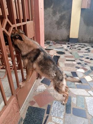 1+ Year Male Mixed Breed German Shepherd | Dogs & Puppies for sale in Kisumu, Kisumu Central