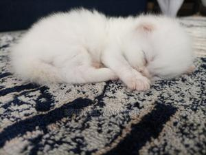 1-3 Month Male Purebred Persian   Cats & Kittens for sale in Mombasa, Makadara (Msa)