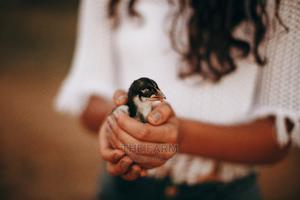 One Day Old Kari Improved Kienyeji Chicks | Livestock & Poultry for sale in Nairobi, Nairobi Central
