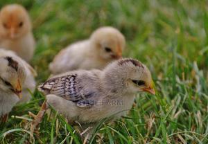 One Day Kenbro Kienyeji Improved Chicks | Livestock & Poultry for sale in Nairobi, Nairobi Central