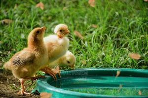 Kenbro Roasters One Day Improved Kienyeji Chicks | Livestock & Poultry for sale in Nairobi, Nairobi Central