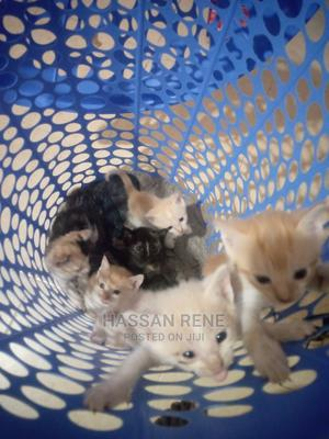 1-3 Month Female Mixed Breed Persian | Cats & Kittens for sale in Nairobi, Kasarani