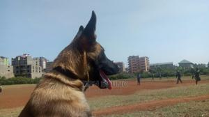 3-6 Month Male Purebred Belgian Malinois   Dogs & Puppies for sale in Nairobi, Nairobi Central