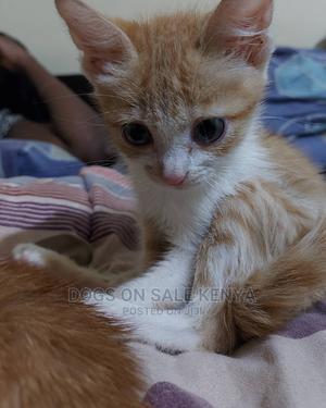 1-3 Month Female Purebred American Shorthair   Cats & Kittens for sale in Kiambu, Kiambu / Kiambu