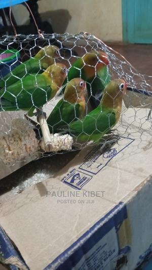 Red Beaked Lovebirds | Birds for sale in Uasin Gishu, Soy