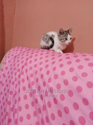 1-3 Month Female Purebred American Shorthair | Cats & Kittens for sale in Kisii, Kisii CBD