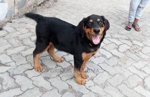 1-3 Month Female Purebred Rottweiler   Dogs & Puppies for sale in Nairobi, Dagoretti