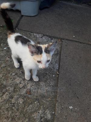 1-3 Month Male Mixed Breed American Shorthair | Cats & Kittens for sale in Nairobi, Nairobi Central