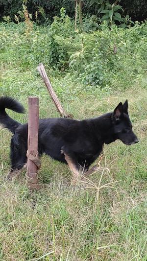 1+ year Male Purebred German Shepherd | Dogs & Puppies for sale in Kiambu, Ndenderu