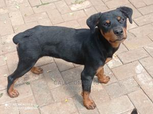 3-6 Month Male Purebred Rottweiler   Dogs & Puppies for sale in Nairobi, Kileleshwa