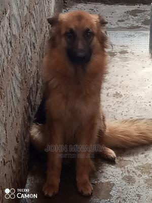 6-12 Month Female Purebred German Shepherd | Dogs & Puppies for sale in Nairobi, Embakasi