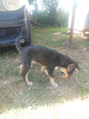 3-6 Month Male Mixed Breed German Shepherd   Dogs & Puppies for sale in Siaya, South Sakwa (Bondo)