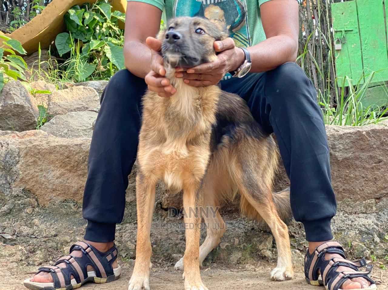 Archive: 1+ Year Female Mixed Breed German Shepherd