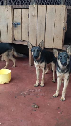 6-12 Month Female Purebred German Shepherd | Dogs & Puppies for sale in Kiambu, Ndenderu