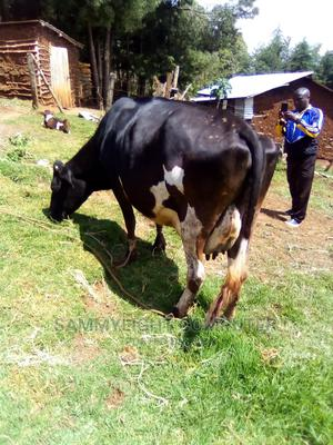 Quality Cow for Sale   Livestock & Poultry for sale in Nakuru, Lanet