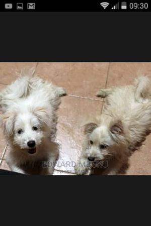 3-6 Month Female Mixed Breed Japanese Spitz | Dogs & Puppies for sale in Mombasa, Nyali
