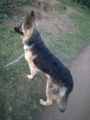 1+ Year Female Purebred German Shepherd | Dogs & Puppies for sale in Nakuru, Lanet