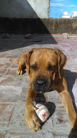 1+ Year Female Purebred Boerboel | Dogs & Puppies for sale in Mombasa, Mombasa CBD