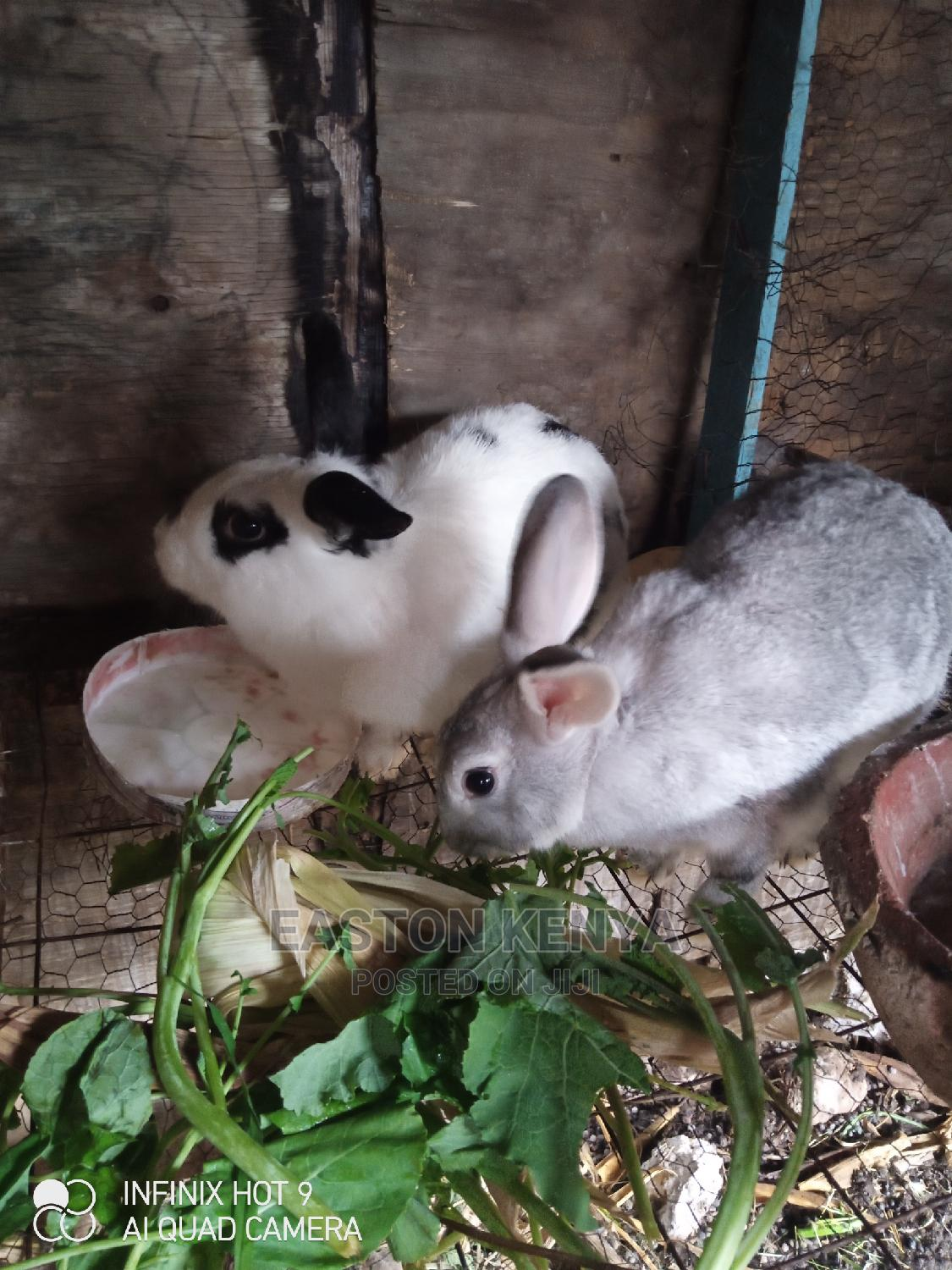 Archive: Checkered Giant Rabbits for Sale