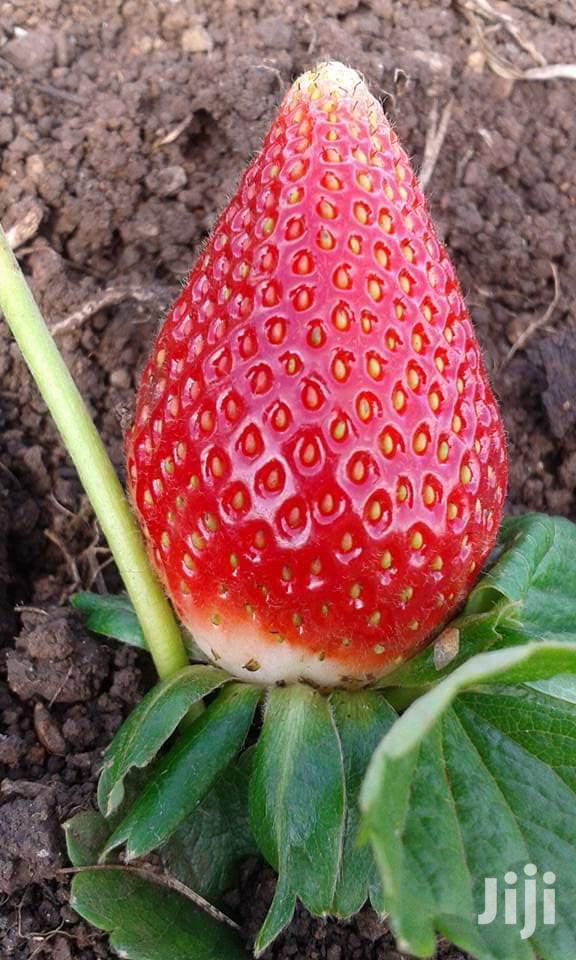 Strawberries Seedlings