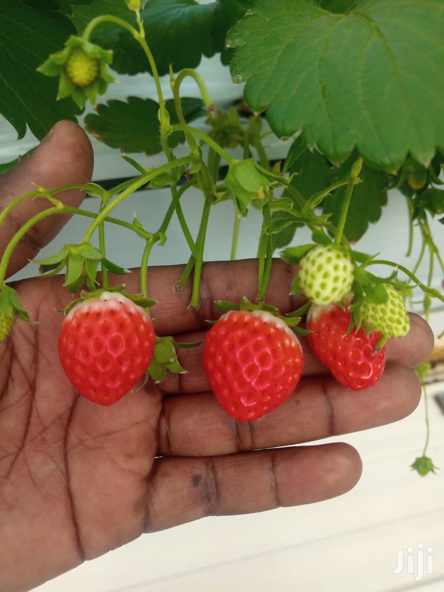 Strawberries Seedlings | Feeds, Supplements & Seeds for sale in Nairobi Central, Nairobi, Kenya