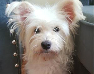 1+ Year Female Purebred Maltese | Dogs & Puppies for sale in Kiambu, Ruiru
