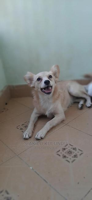 6-12 Month Female Mixed Breed Japanese Spitz | Dogs & Puppies for sale in Nairobi, Lucky Summer