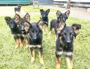 1-3 Month Female Purebred German Shepherd | Dogs & Puppies for sale in Nairobi, Karen