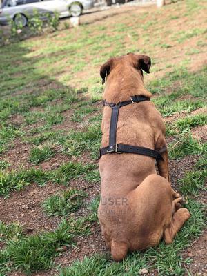 1-3 Month Female Purebred Boerboel   Dogs & Puppies for sale in Nakuru, Nakuru Town East