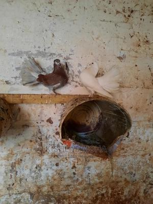 Breeding Pair Of Fantails For Sale | Birds for sale in Nairobi, Kilimani